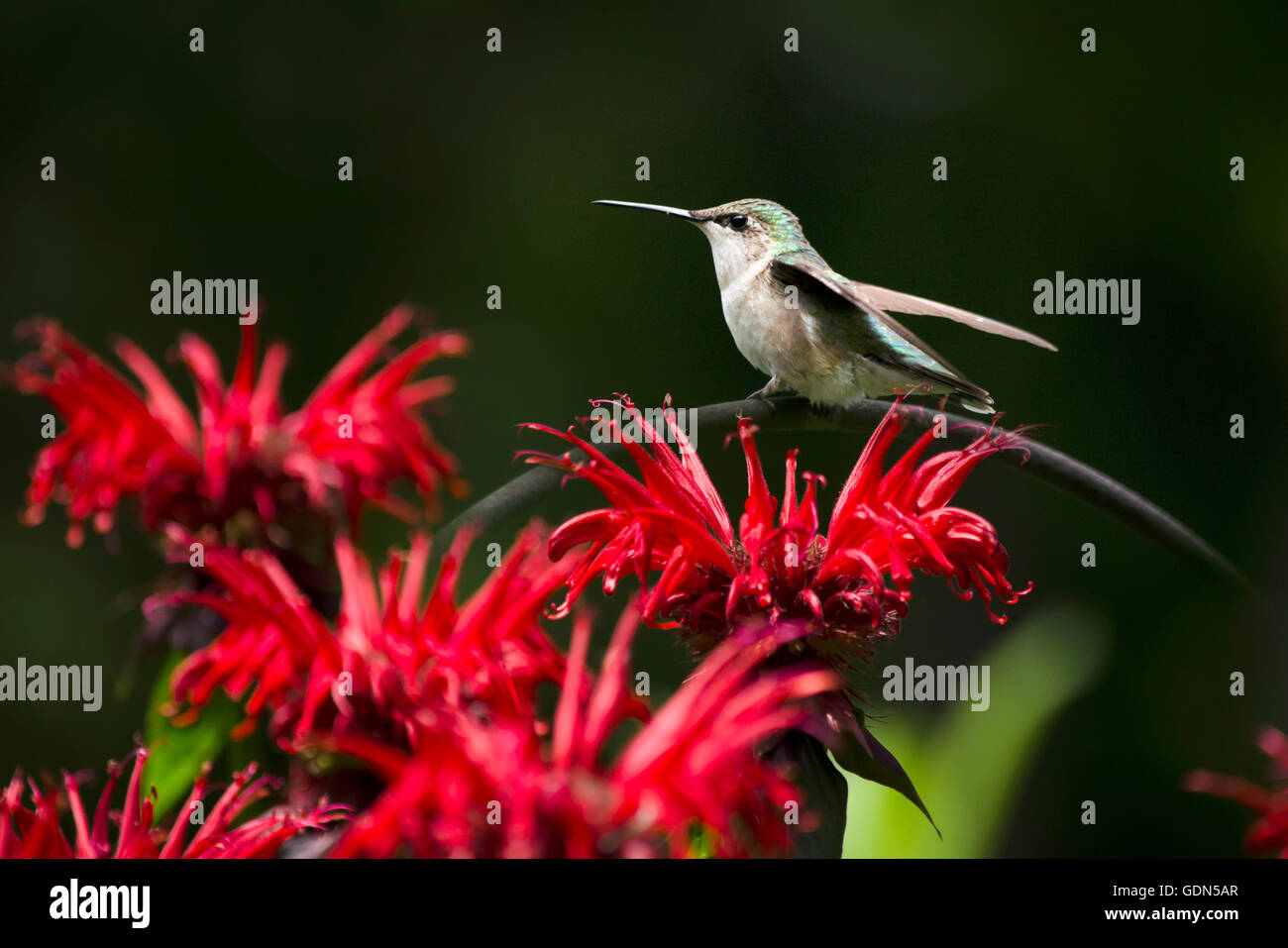 Cute hummingbird perched over red flowers in summer garden habitat. - Stock Image
