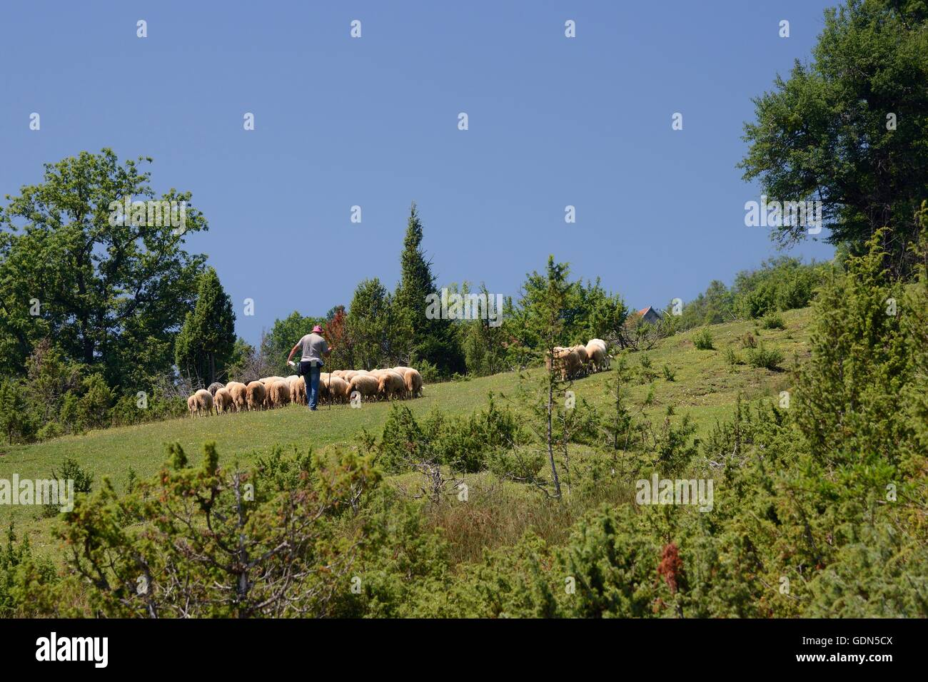 Sheep (Ovis aries) being herded in alpine pastureland, near Foca, Bosnia and Herzegovina, July. - Stock Image