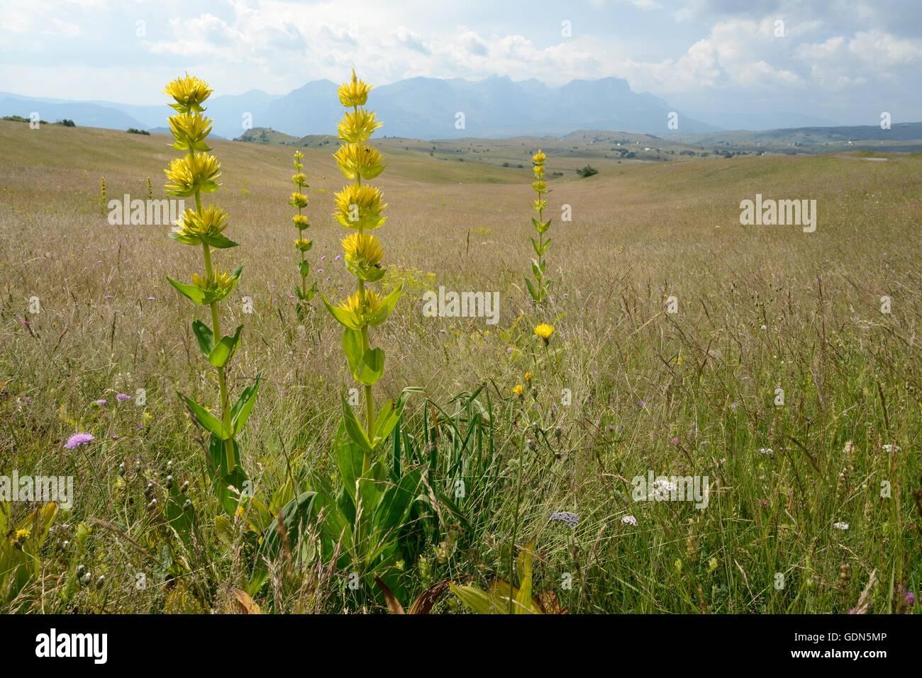 Great yellow gentian (Gentiana lutea ssp. symphyandra) flowering spikes on Mount Piva plateau, near Trsa, Montenegro. - Stock Image