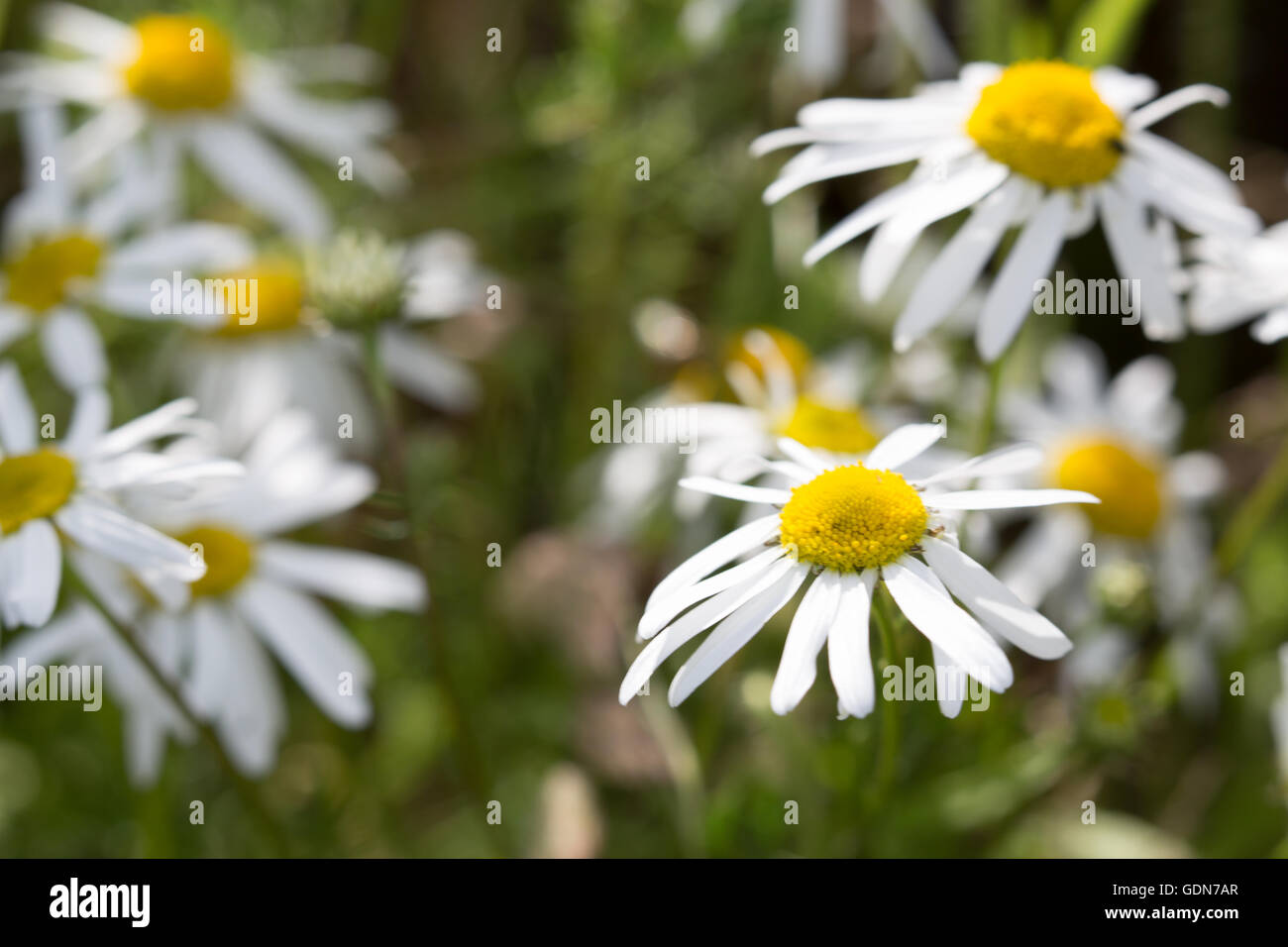 England Wild Flower Daisy Bellis Stock Photos England Wild Flower