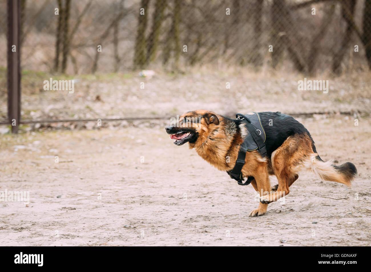 Fast running German Shepherd Dog at training. Alsatian Wolf Dog. - Stock Image