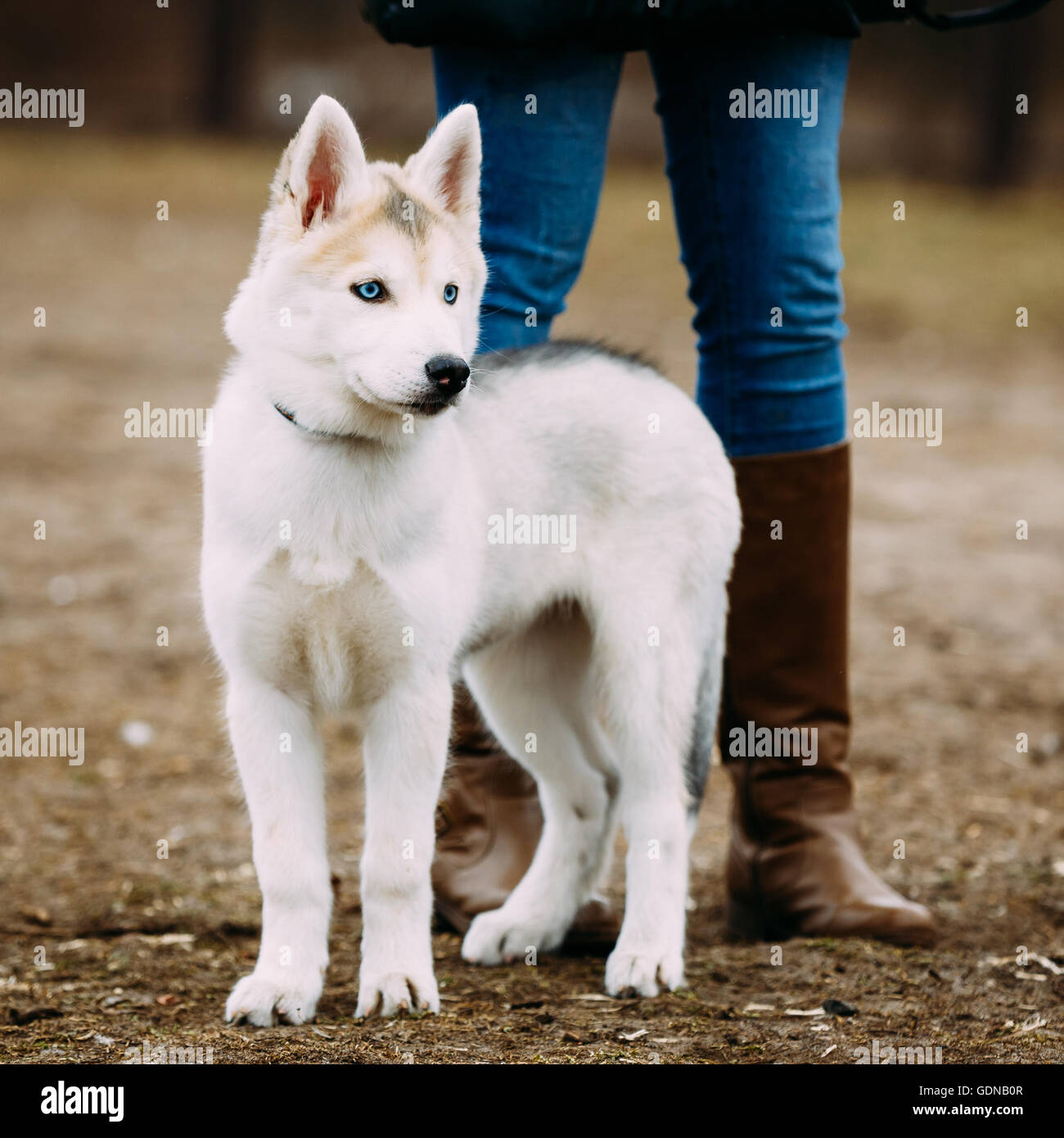 Young Funny White Husky Puppy Dog With Blue Eyes Play