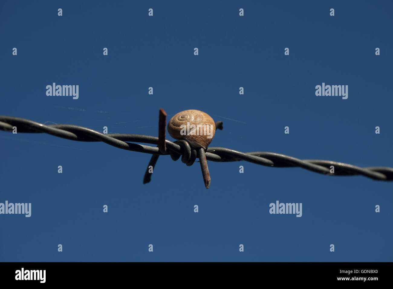 A snails perch on a barbed wire fence in Prado del Rey, Cadiz, Andalusia, Spain, July 16, 2013. - Stock Image