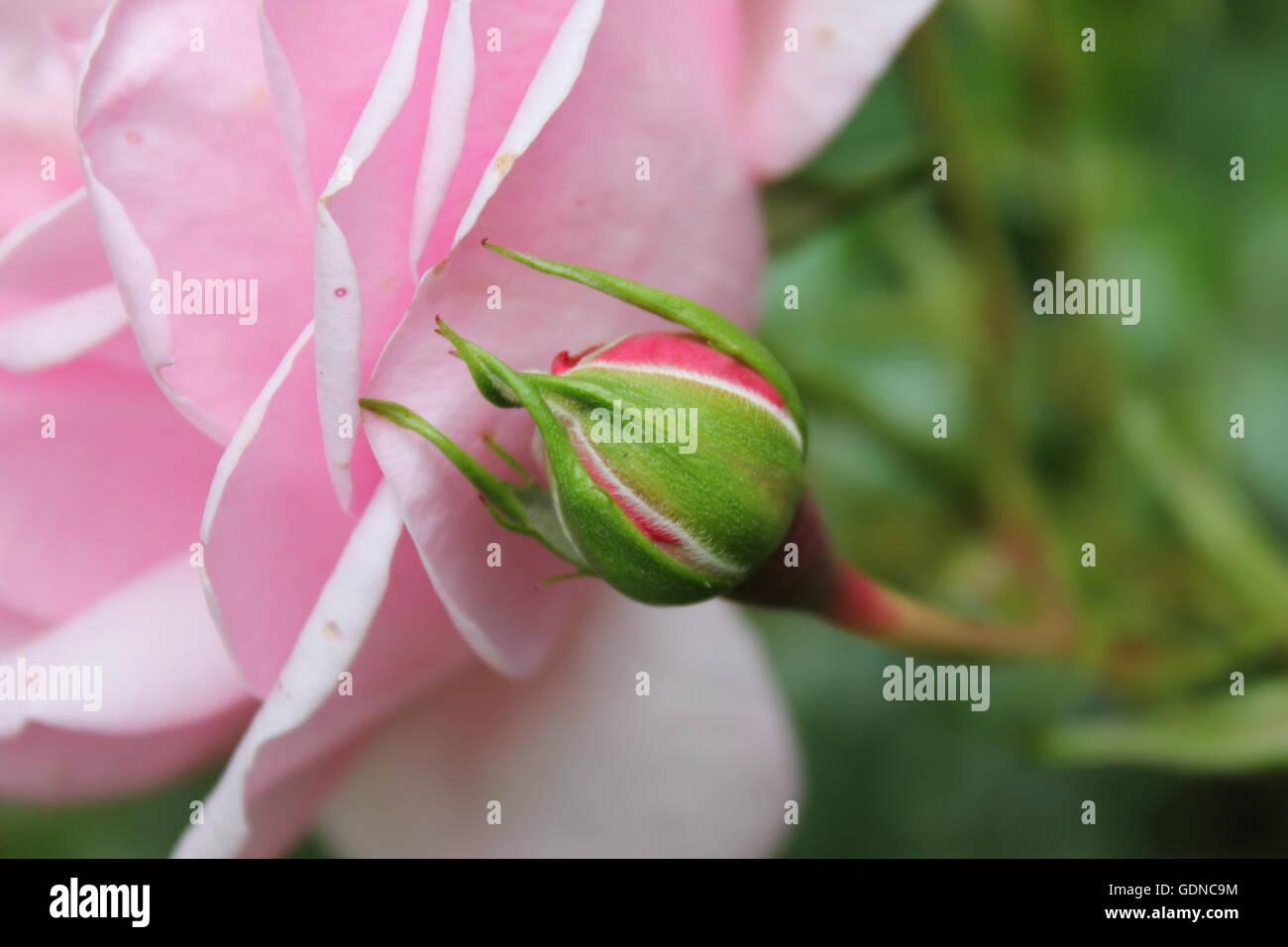 Beautiful Rose and rosebud - Stock Image