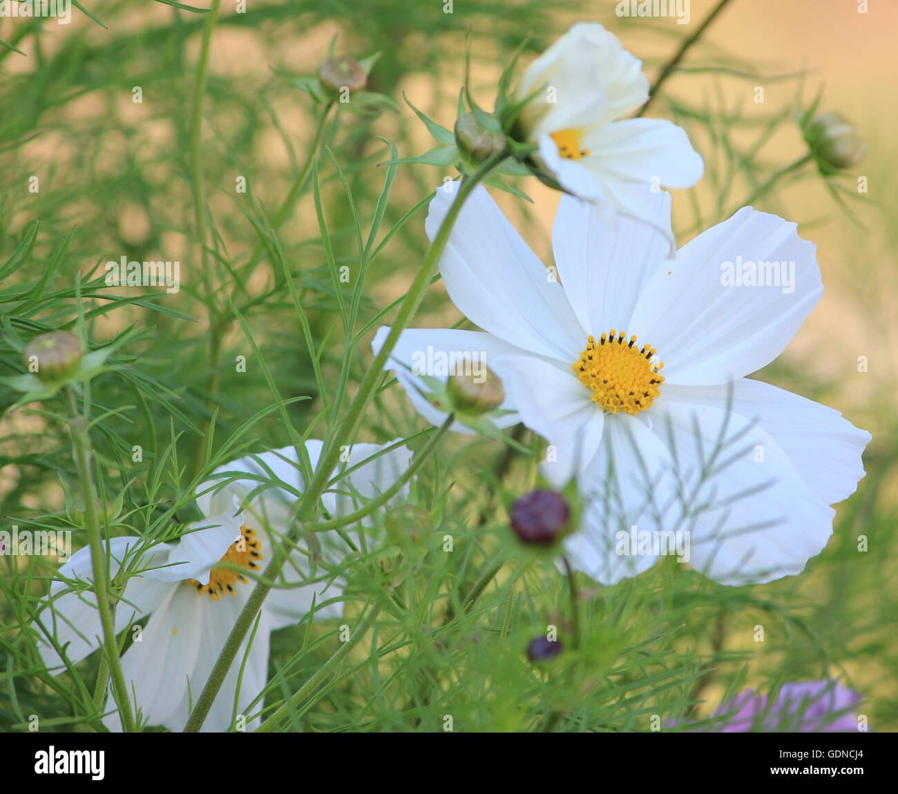 White cosmos flower stock photos white cosmos flower stock images white cosmos flower stock image mightylinksfo