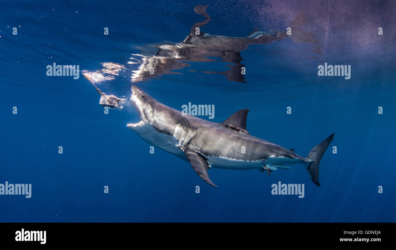 Great white shark mouth open stock photos great white for Great white shark fishing
