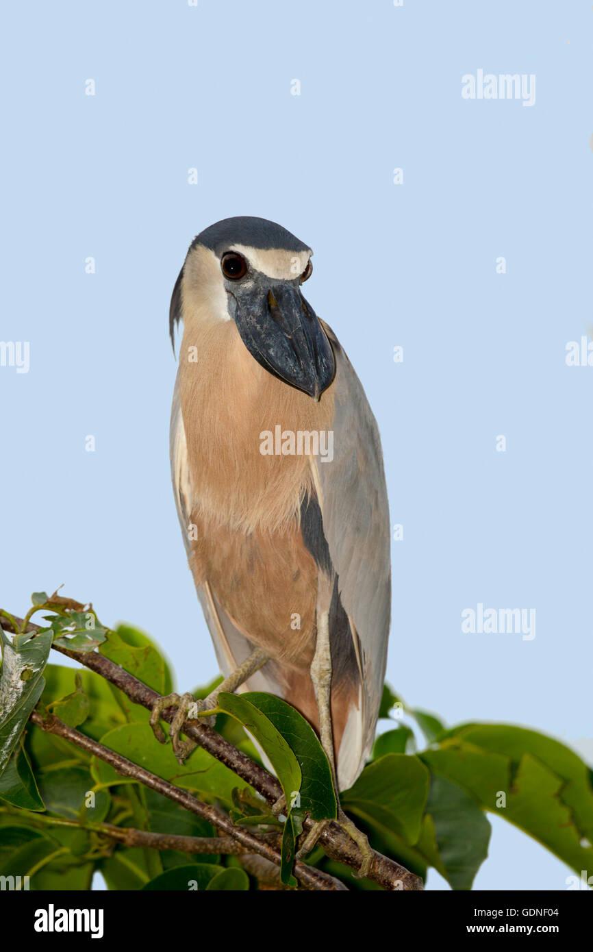 Boat-billed Heron  Cochlearius cochlerius San Blas, Nayarit, Mexico 7 June     Adult       Ardeidae - Stock Image