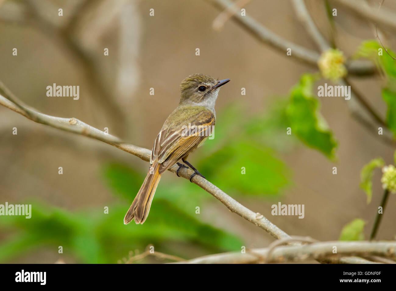 Flammulated Flycatcher  Deltarhynchus flammulatus Tehualmixtle, Jalisco, Mexico 13 June    Adult     Tyrannidae - Stock Image