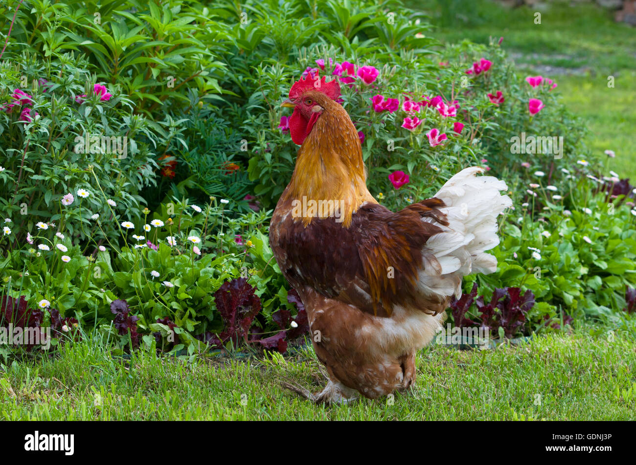 Poultry rooster thoroughbred motley beautiful, bird, breed, economy, farmer, farming, house, motley, poultry farming, - Stock Image