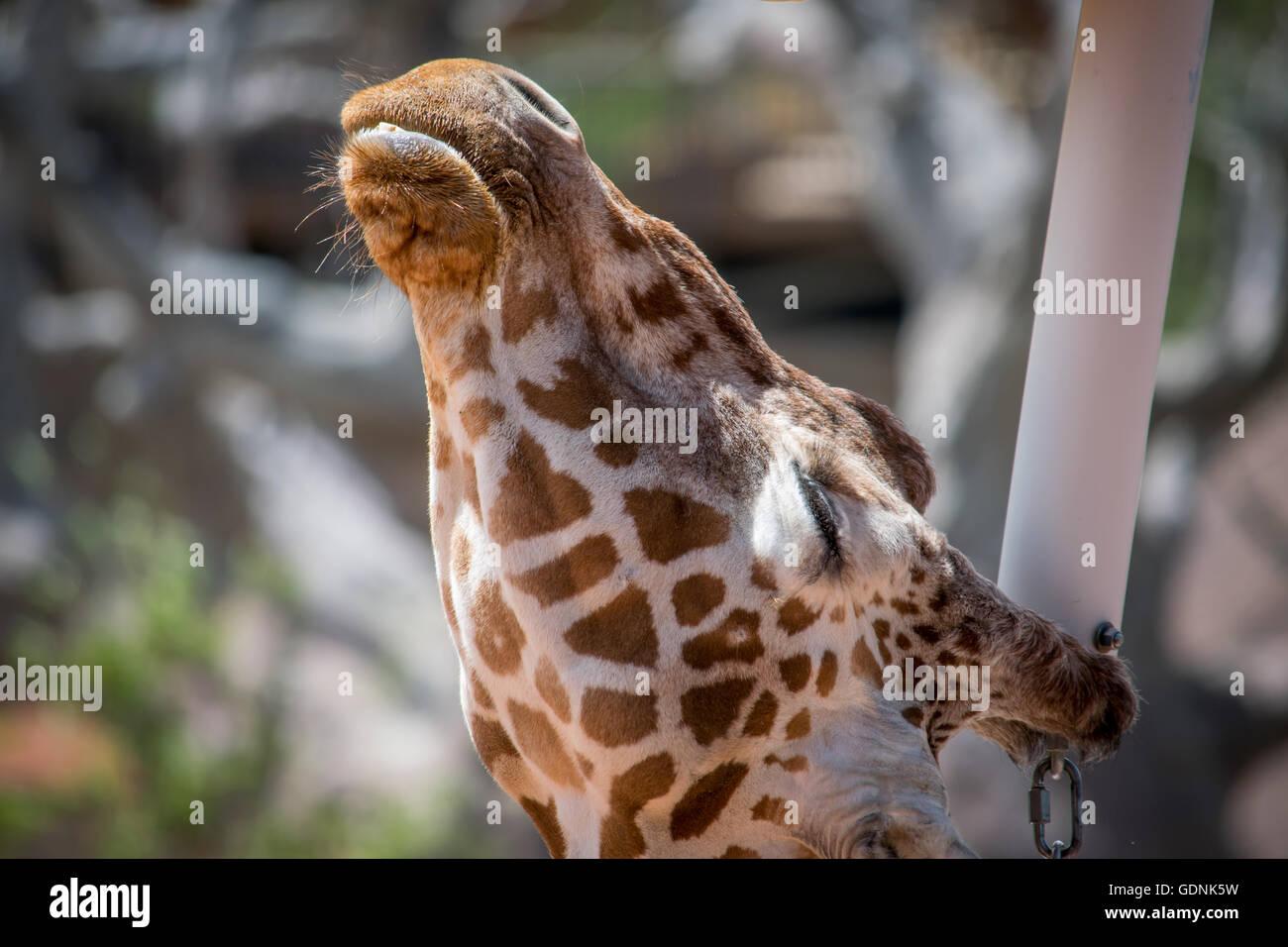 Giraffe basking in the sunshine - Stock Image