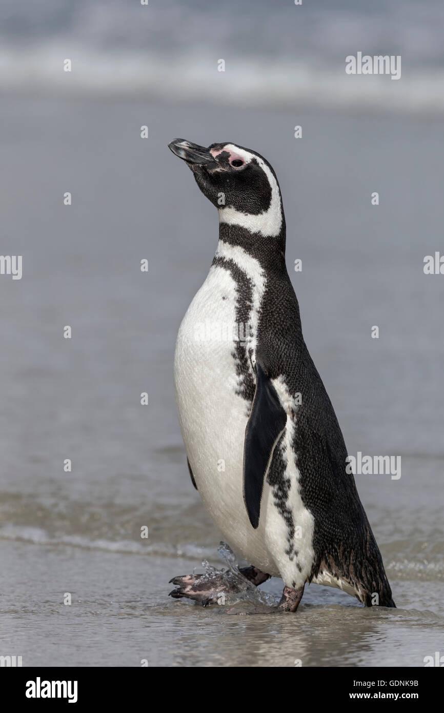 Magellanic Penguin - Stock Image