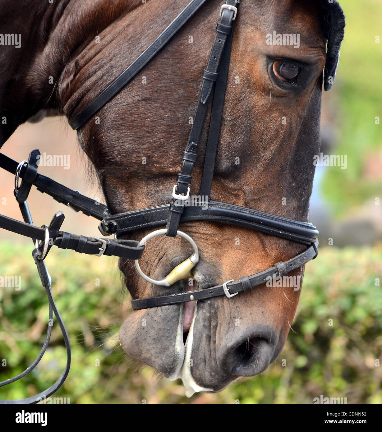 Horse with bit in the mouth. - Stock Image