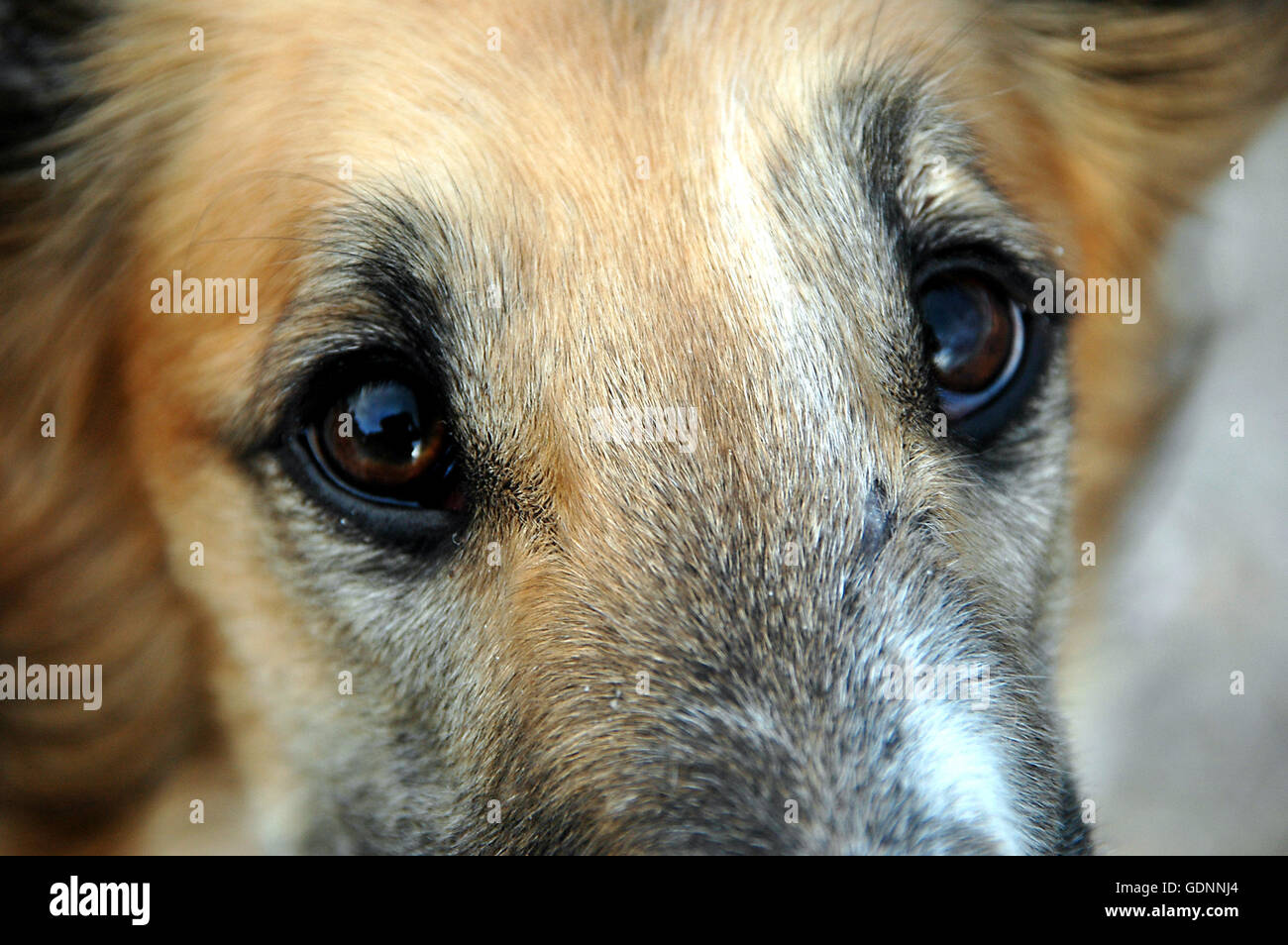 The melancholic eyes of a borzoi dog seen close. - Stock Image