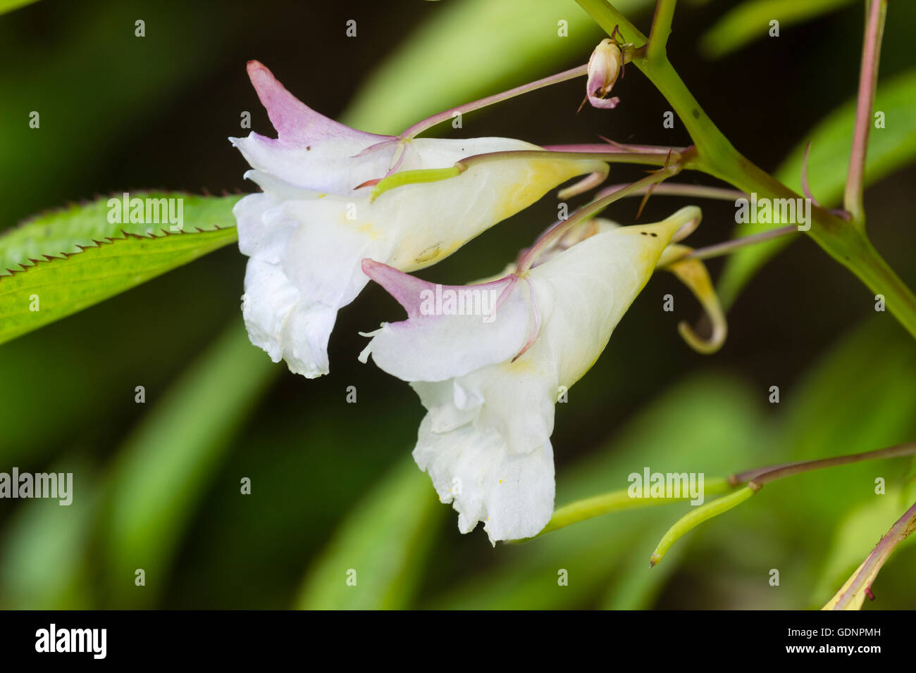 Pink tinged white flowers of the Himalayan balsam, Impatiens arguta 'Alba' - Stock Image