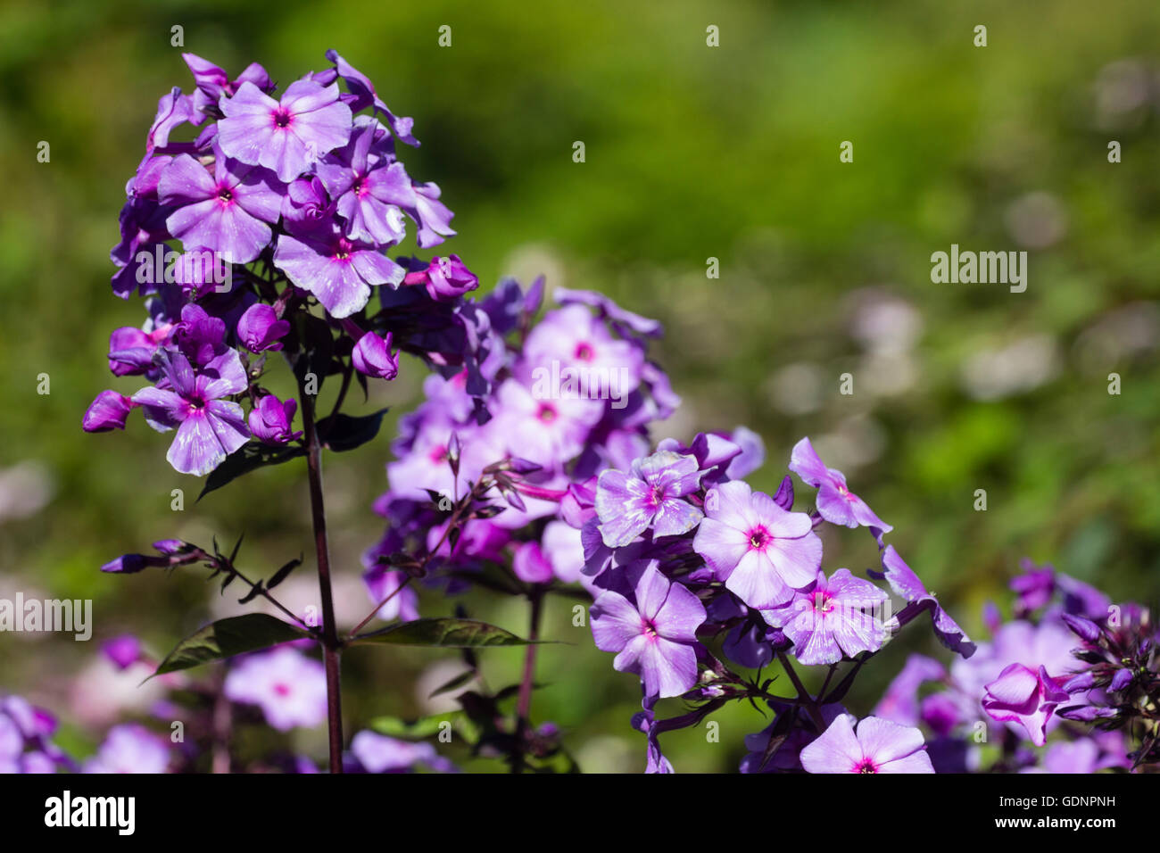 Perennial phlox stock photos perennial phlox stock images alamy flower head of the scented perennial phlox paniculata blue paradise stock image mightylinksfo