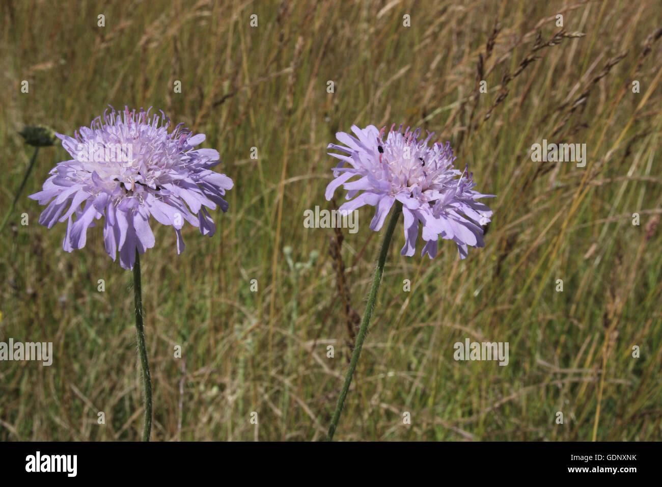 Field scabious flower heads - Stock Image