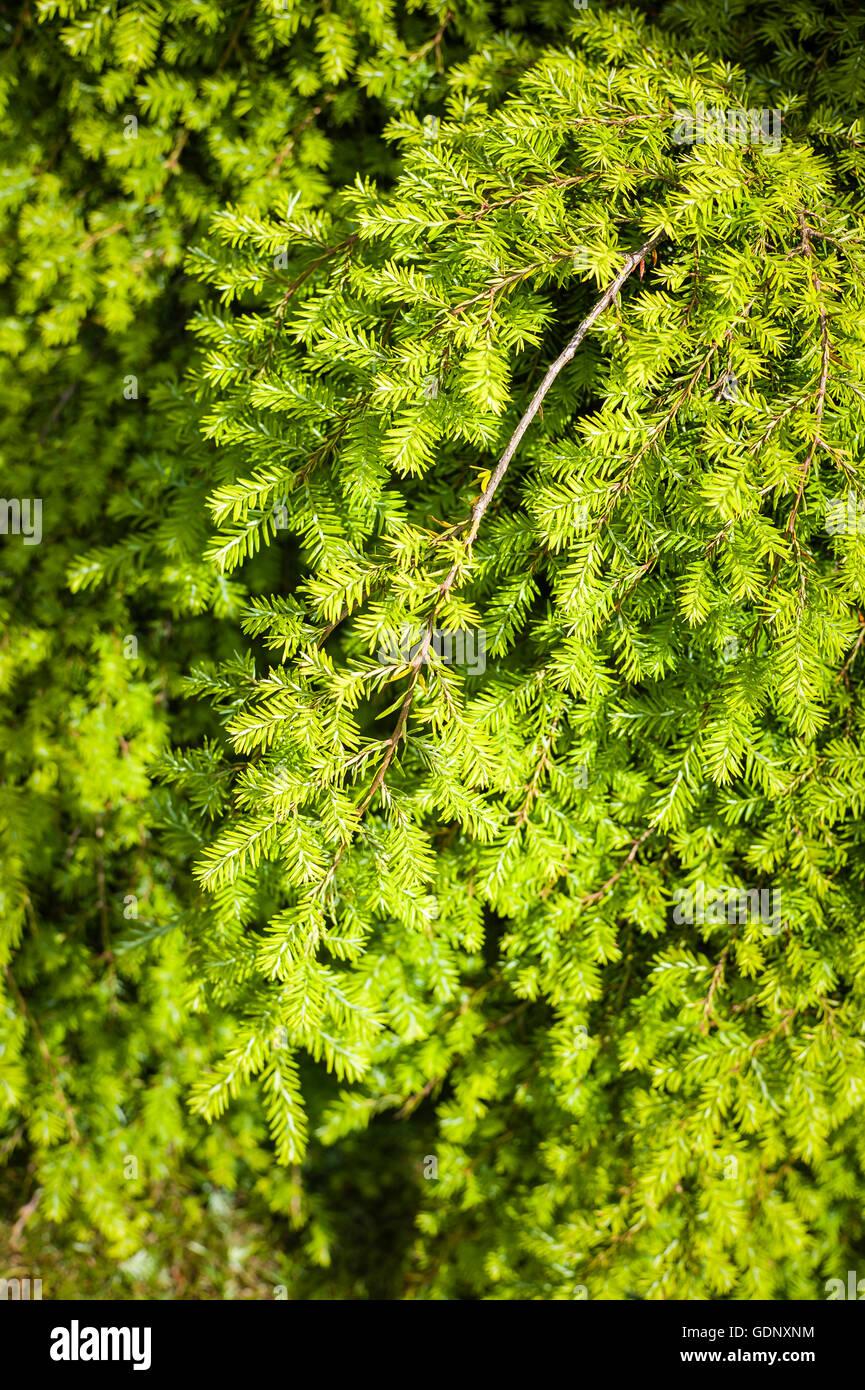 Foliage of a weeping yew treeCumbria, Cumbrian, - Stock Image