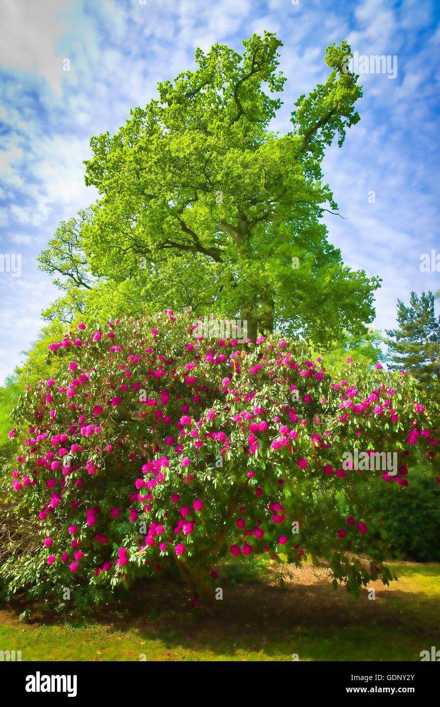 A rhododendron tree flowering in a woodland garden in Wiltshire UK - Stock Image