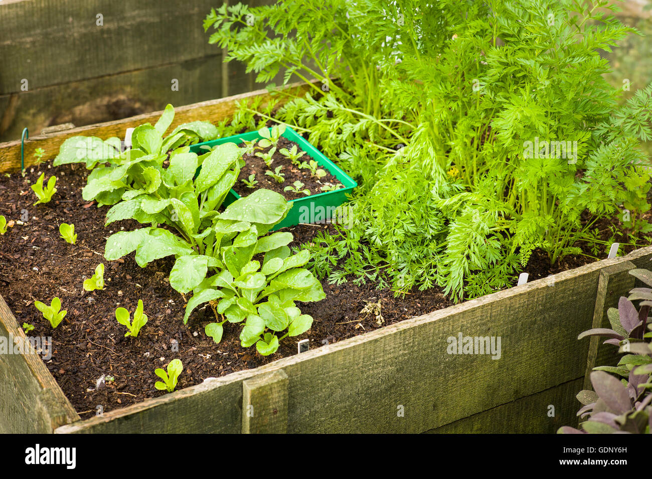 Raised wooden planter filled with growing salad vegetable - Stock Image