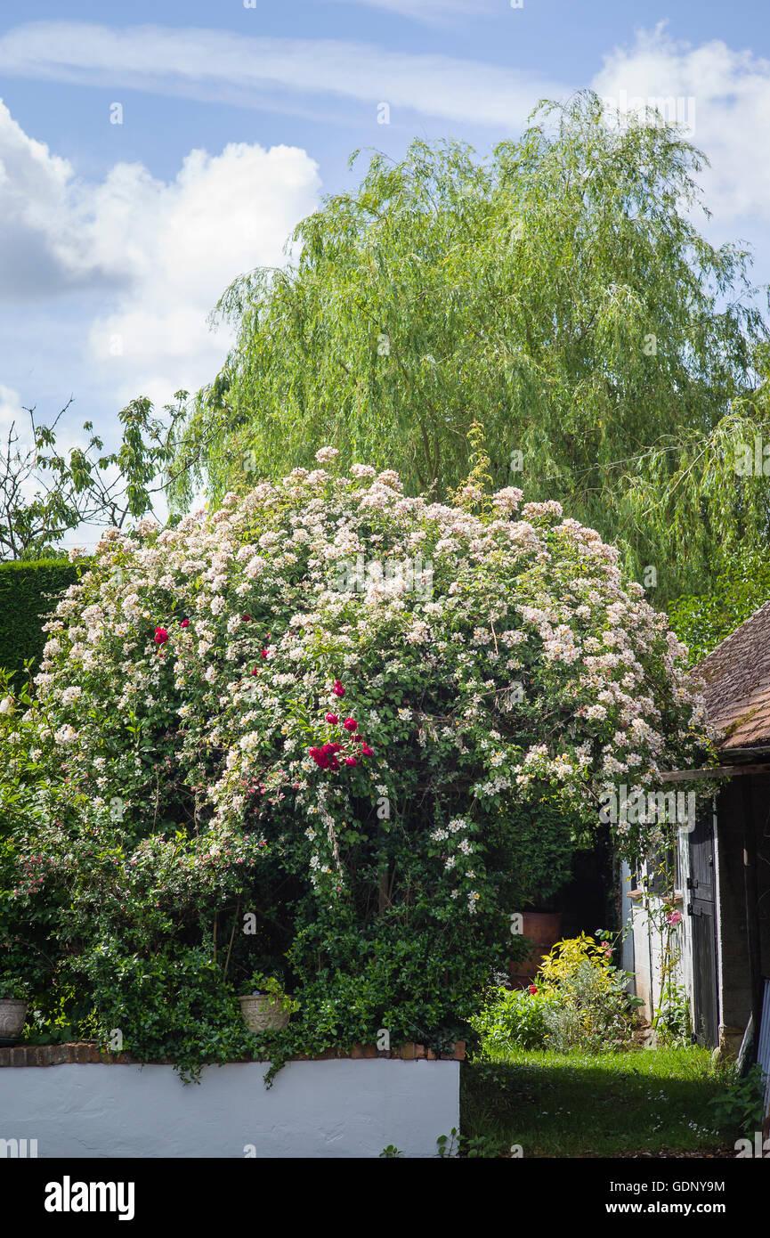 Rambler rose Wedding Day in UK - Stock Image
