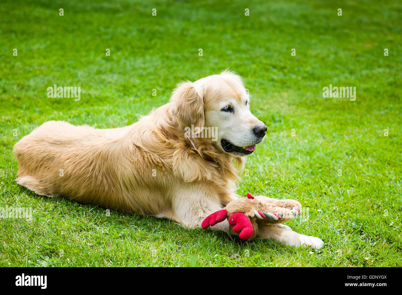 Golden retriever dog on lawn resting with his soft toy - Stock Image