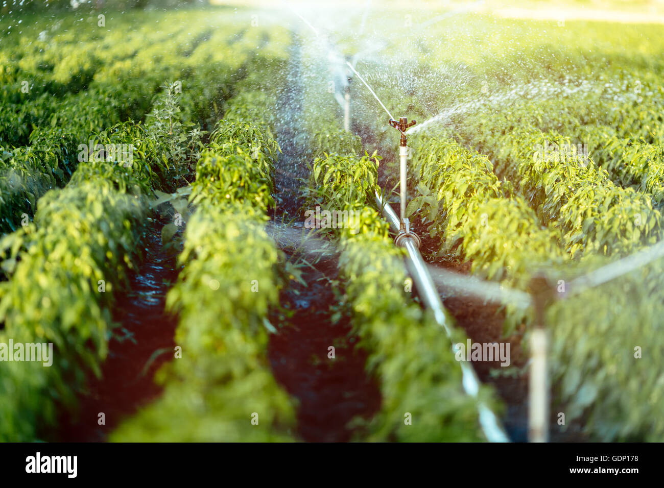 Irrigation system in function watering agricultural plants - Stock Image