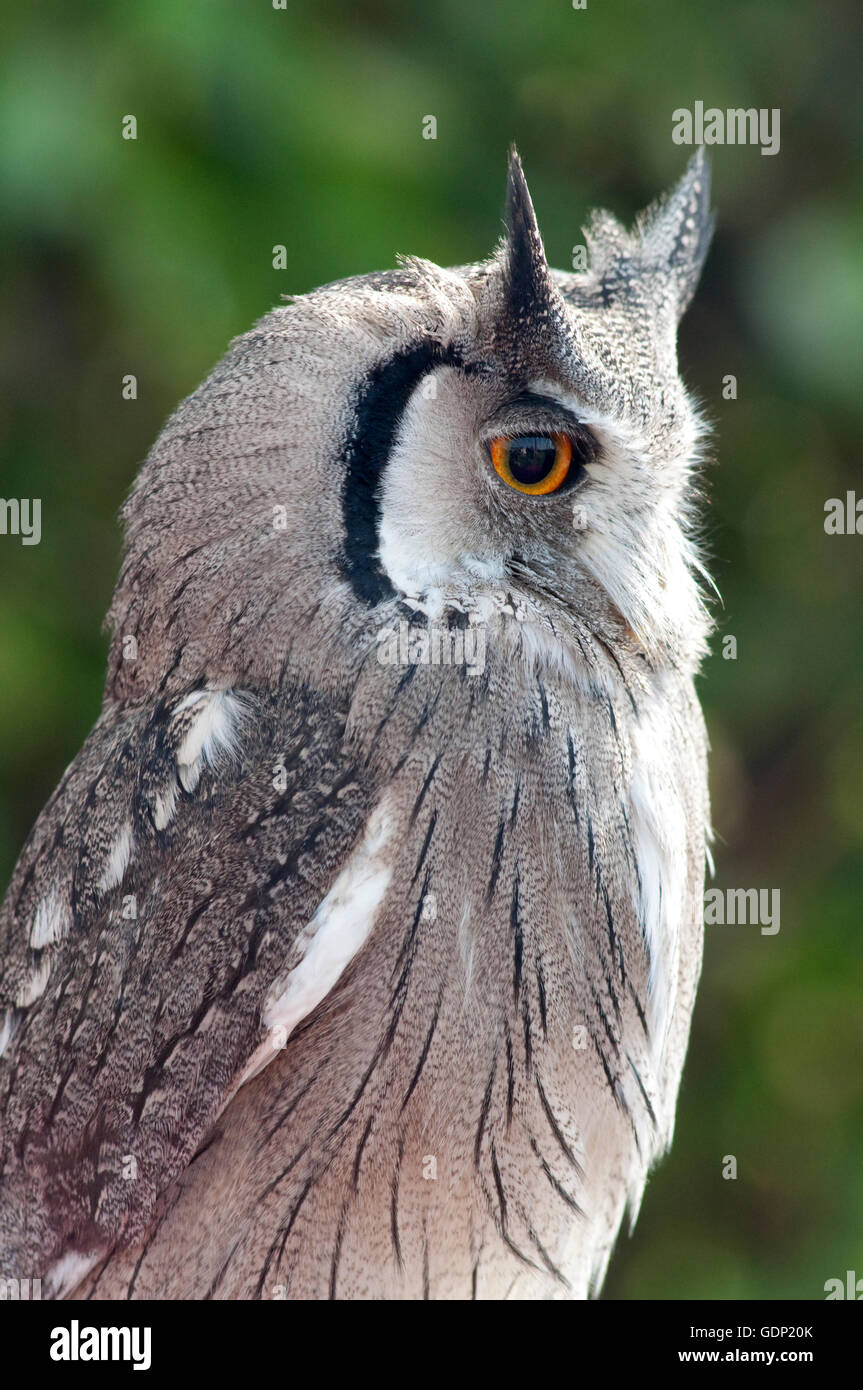 Portrait of a Northern White-faced Owl, Ptilopsis Lucotis,White-faced Scops-Owl in Captivity - Stock Image