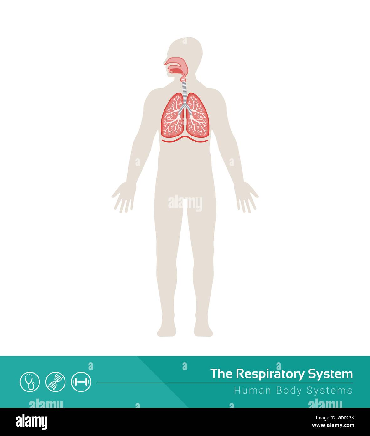 The human respiratory system medical illustration with internal ...