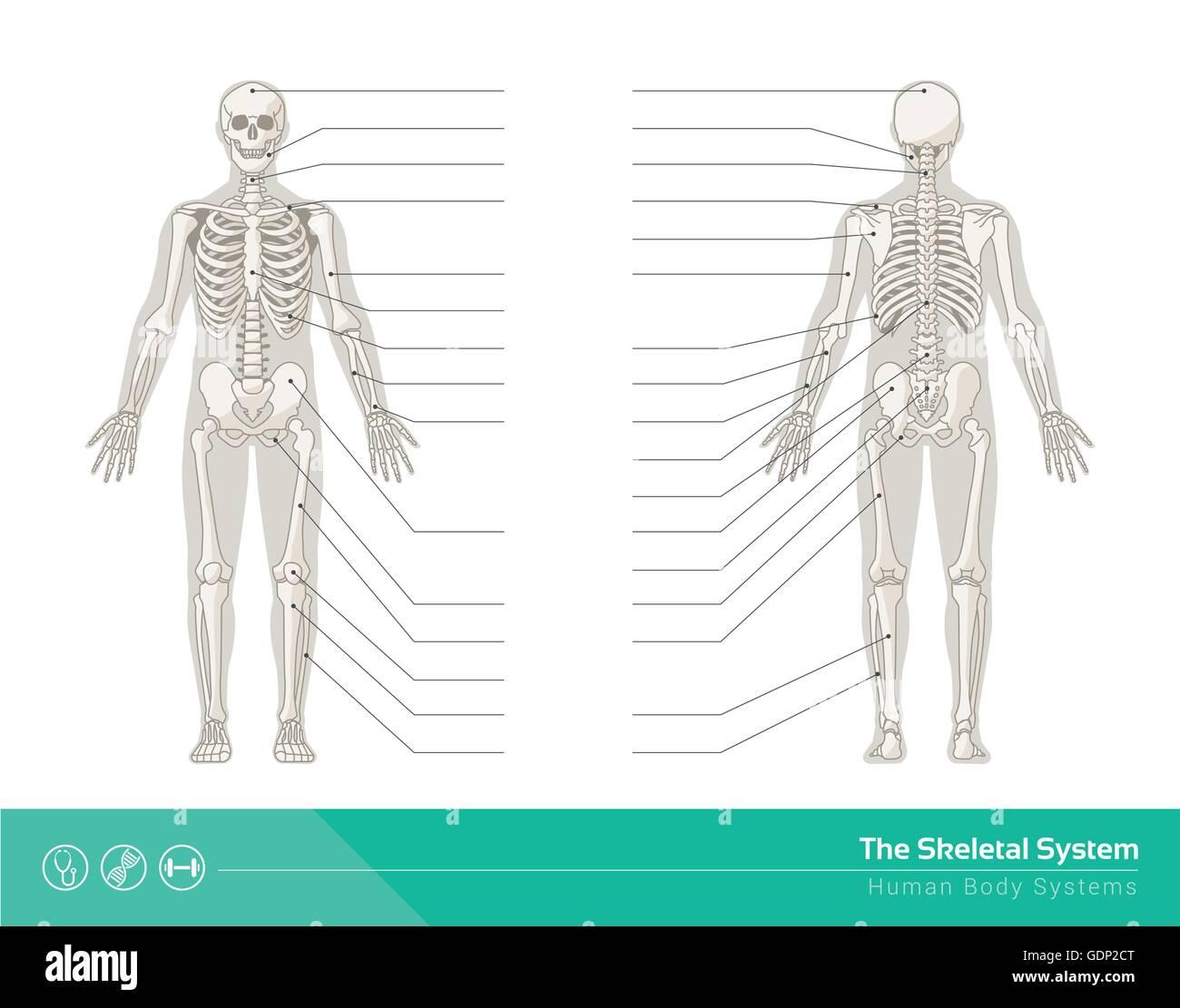 Anatomy Skeletal System Stock Photos Anatomy Skeletal System Stock