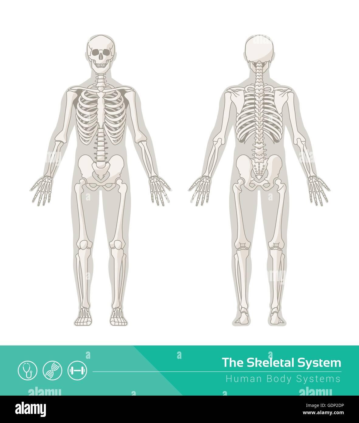 Human Skeletal System Stock Photos Human Skeletal System Stock