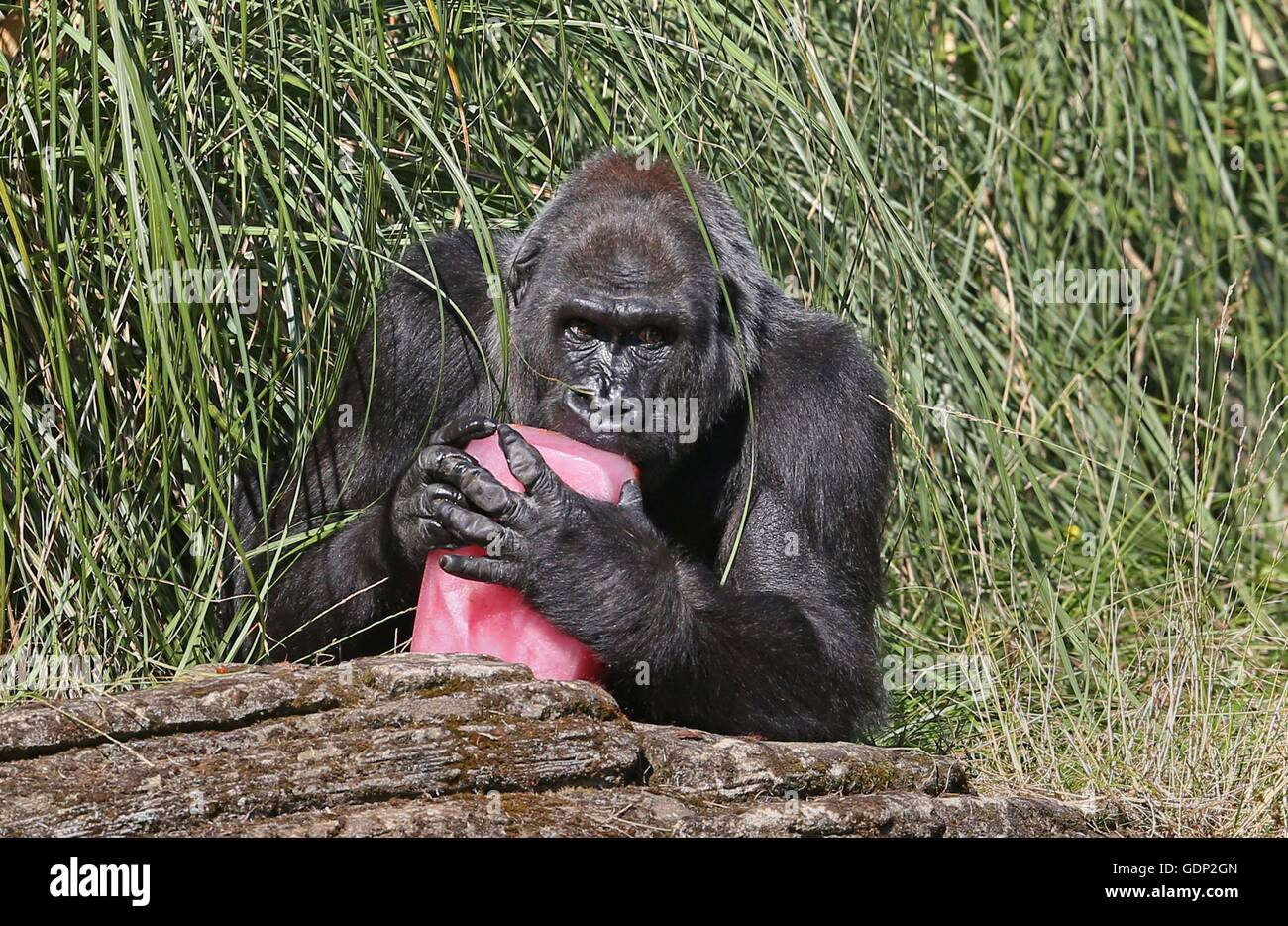 Western Lowland Gorilla Zaire Eats A Fruit Tea Ice Block With Stock