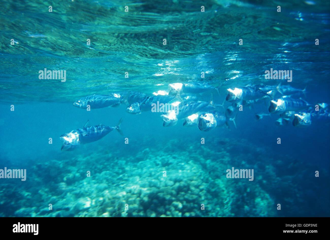 Breitmaulmakrelen, Marsa Alam, Ägypten, Afrika - Stock Image