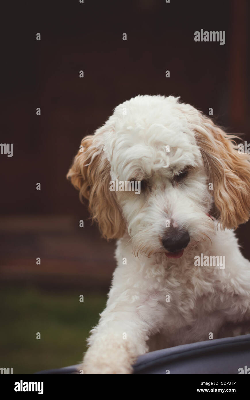 Cockerpoo puppy dog with cream coloured coat and brown ears - Stock Image