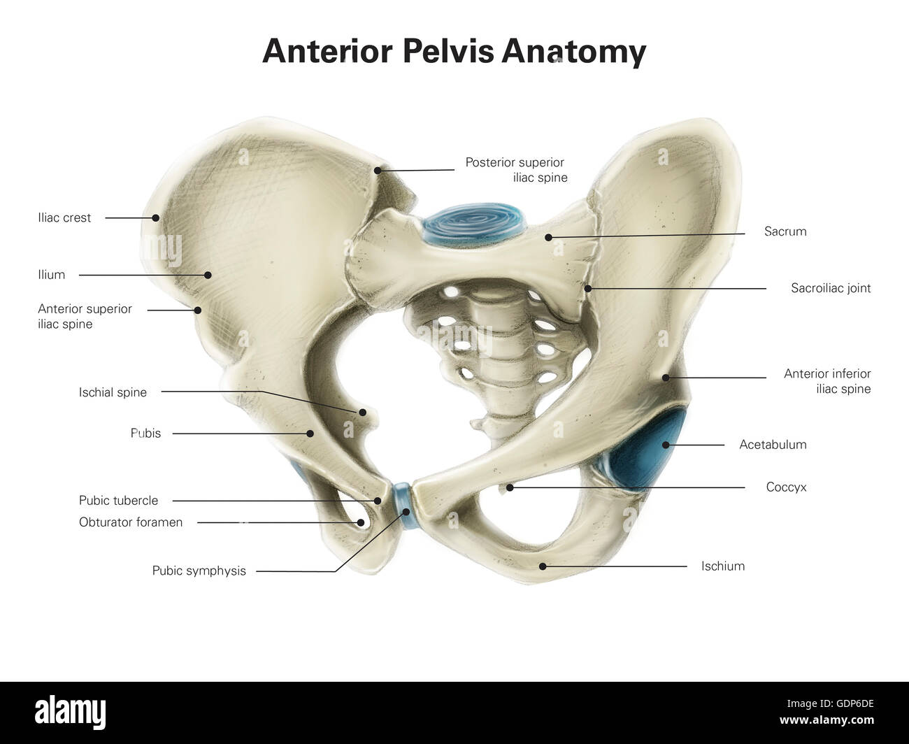 Pubic Bone Stock Photos Pubic Bone Stock Images Alamy