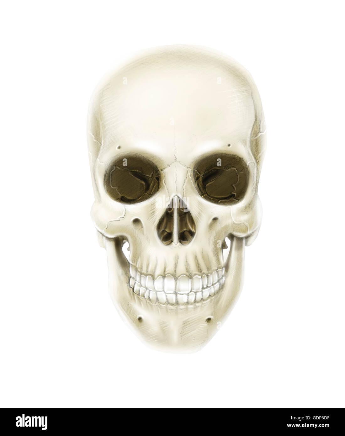 Anterior view of human skull. - Stock Image