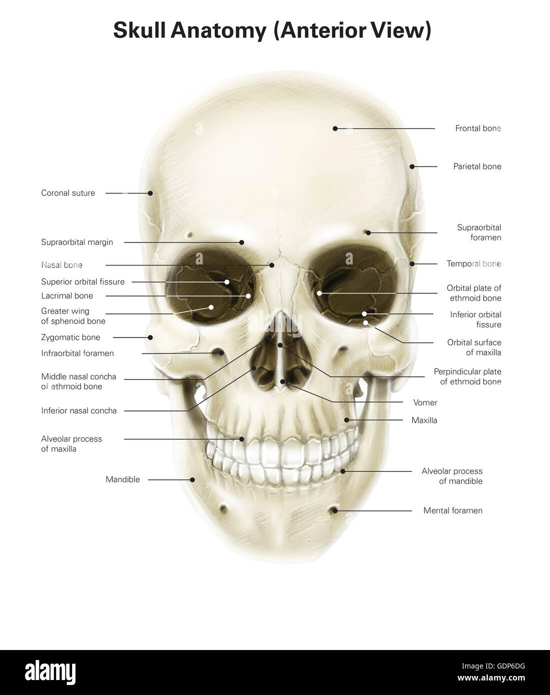 Anterior View Of Human Skull With Labels Stock Photo