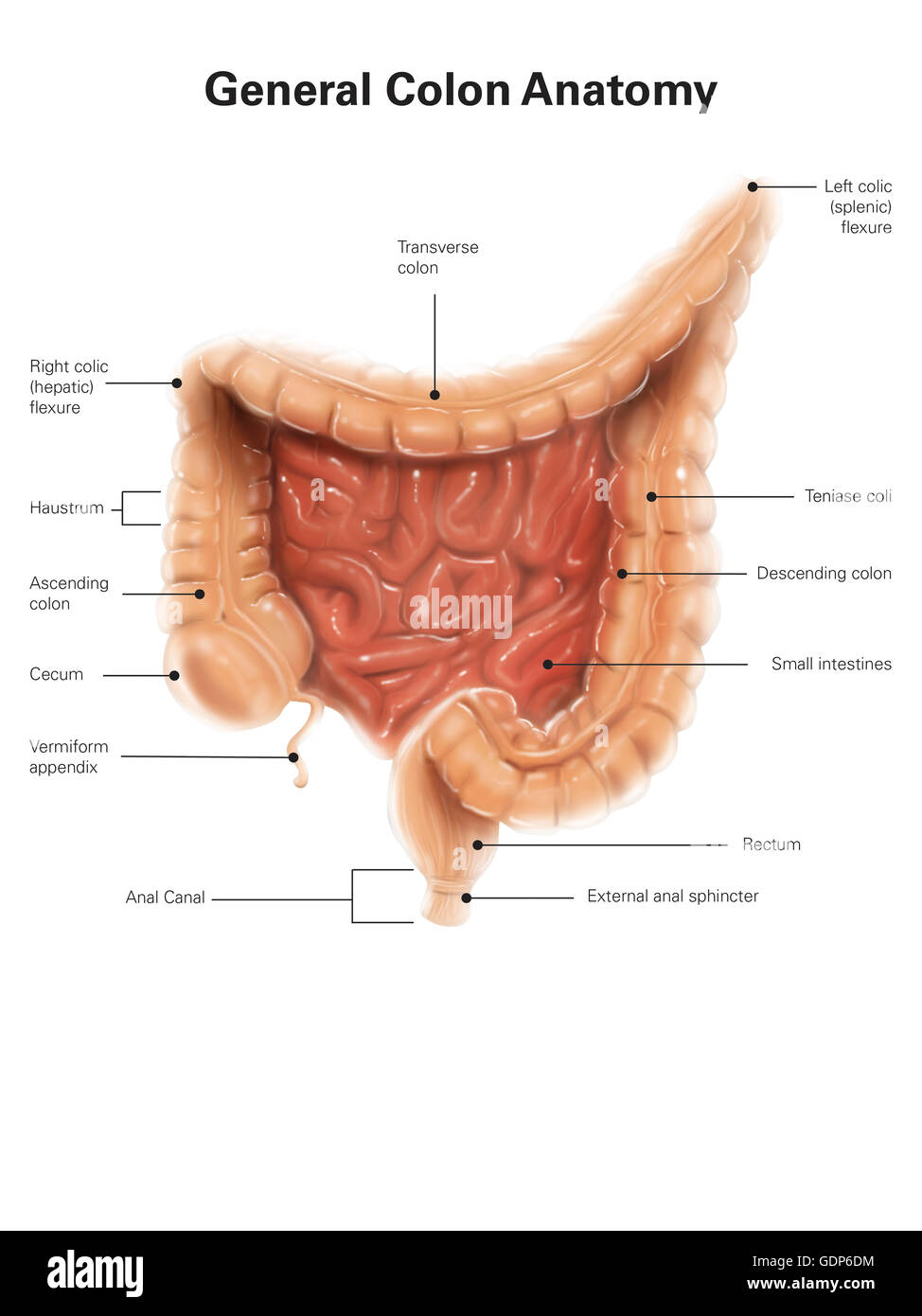 General Colon Anatomy With Labels Stock Photo 111740768 Alamy