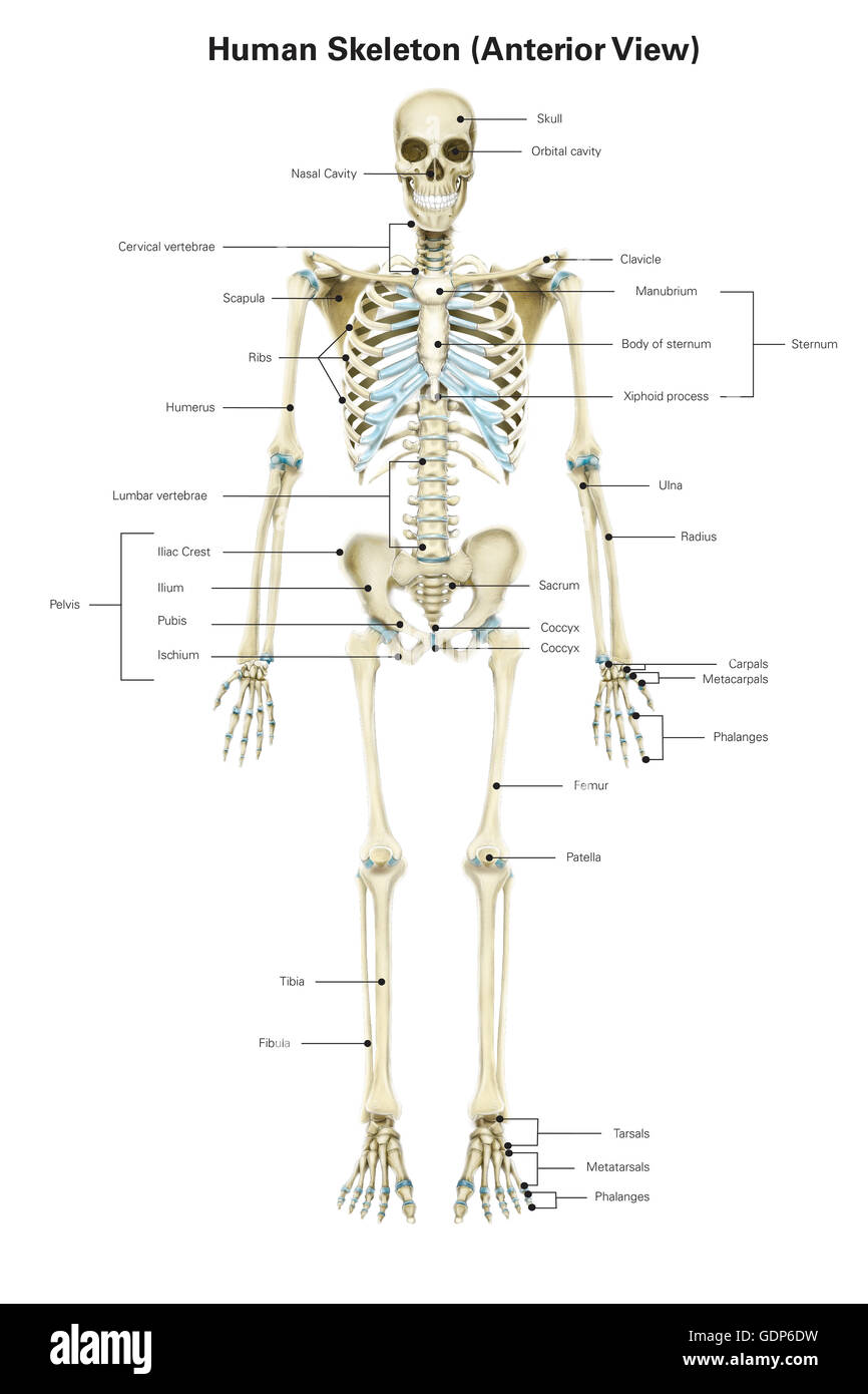 Anterior View Of Human Skeletal System With Labels Stock Photo