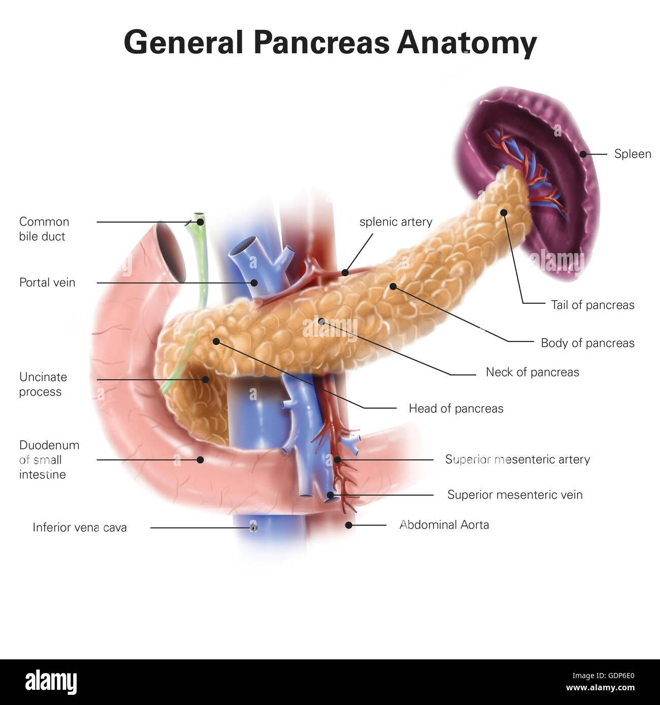 Anatomy Of Human Pancreas With Labels Stock Photo 111740776 Alamy