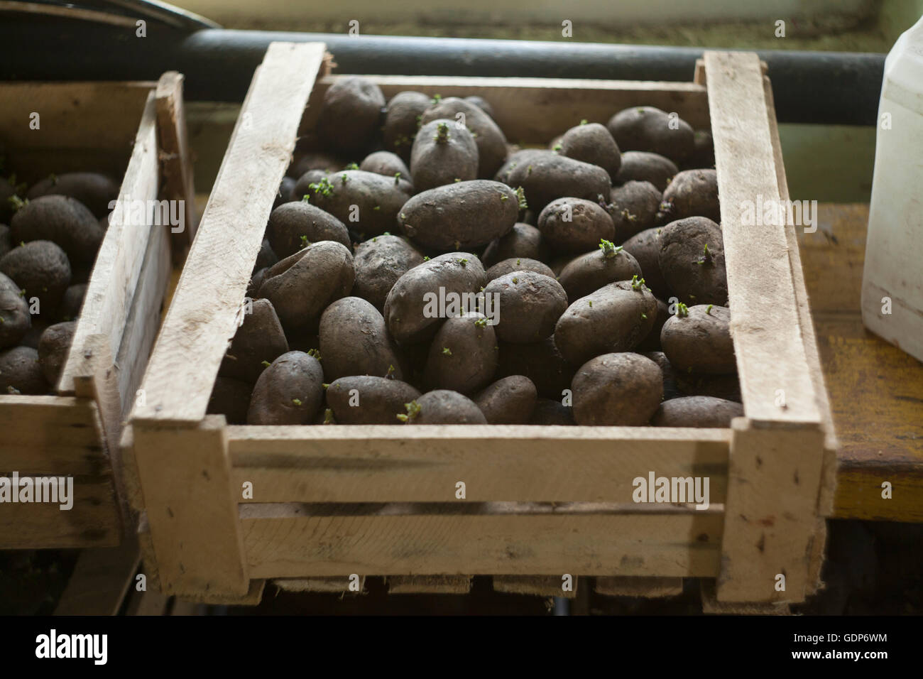 Crate of seedling potatoes in shed - Stock Image