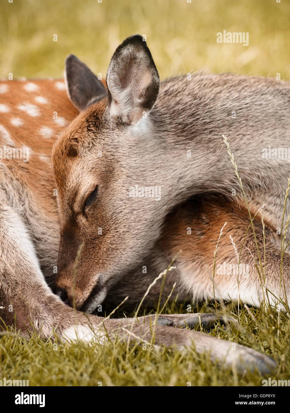 Deer sleeping, close-up, Aarhus, Denmark - Stock Image