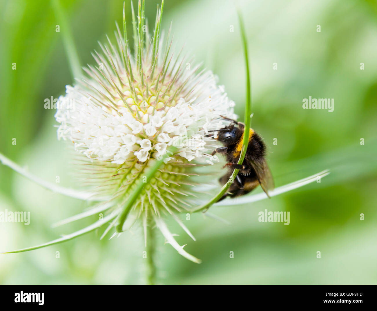 Close up of bumblebee feeding on wildflower nectar - Stock Image