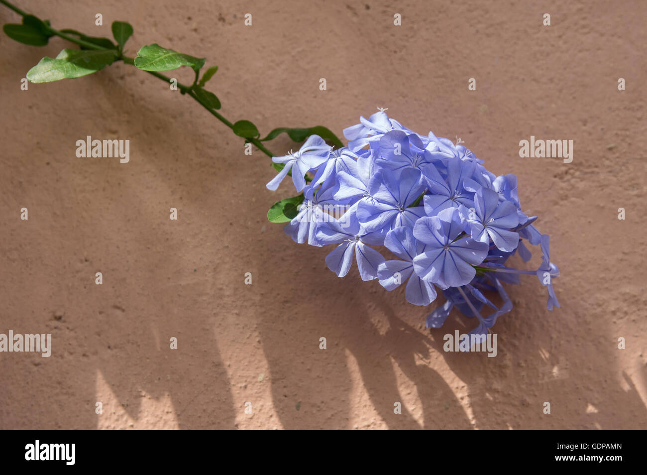 Lilac flower on a pink wall - Stock Image