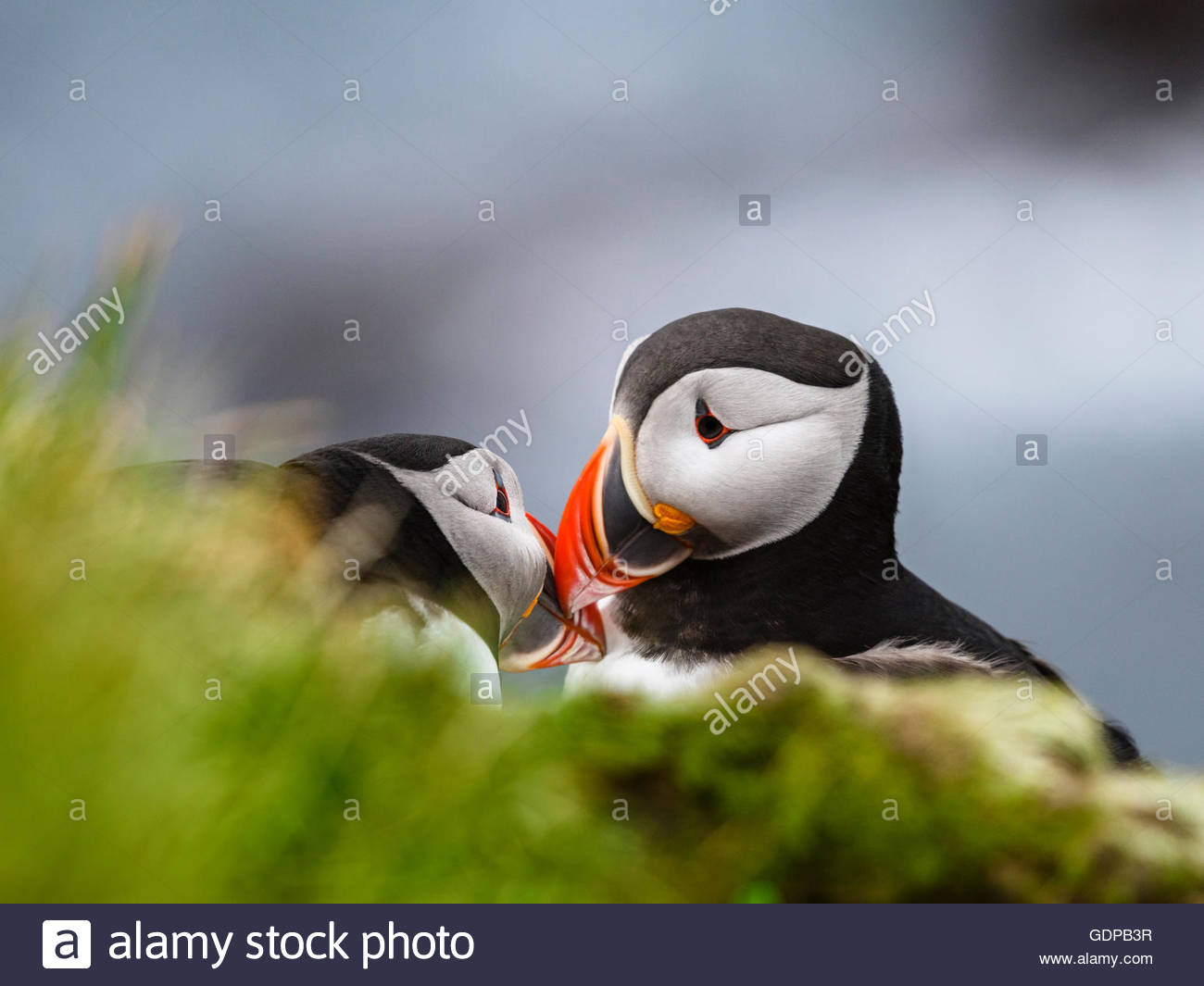 Two puffins touching beaks, Latrabjarg, Westfjords, Iceland - Stock Image