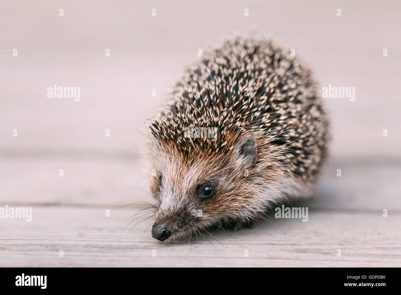 Cute Funny Lovely Hedgehog Standing On Wooden Floor - Stock Image