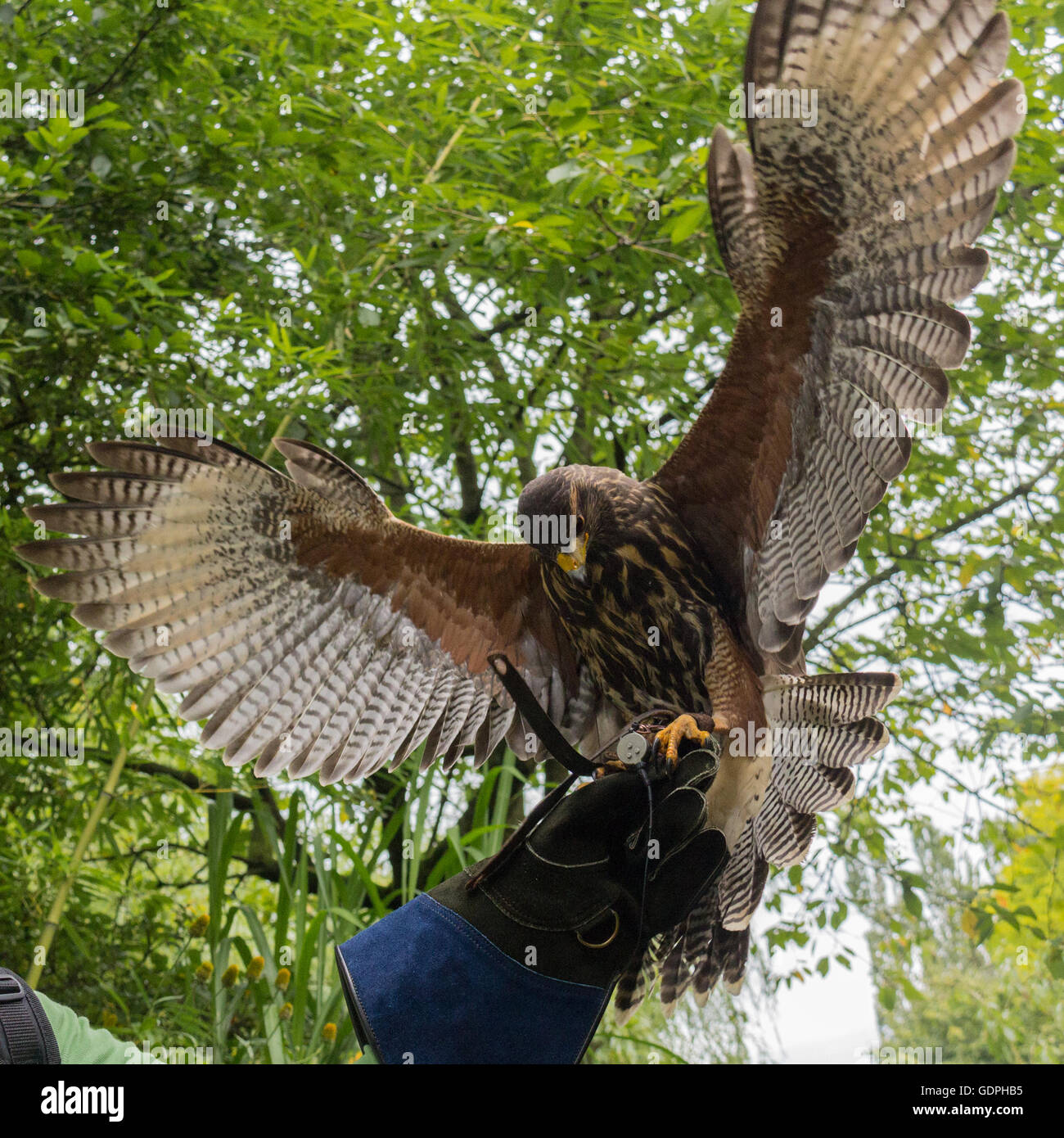 Hawk landing on a Falconry Gauntlet - Stock Image