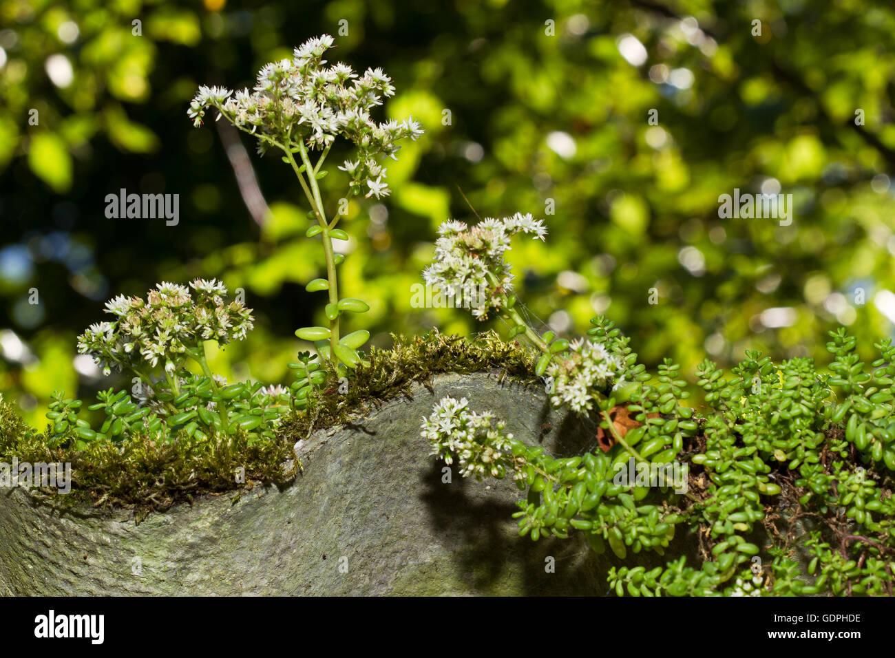 White stonecrop (Sedum album) on asbestos roof sheeting - Stock Image
