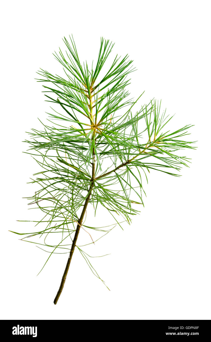 White pine branch with pine needles cutout on white background - Stock Image