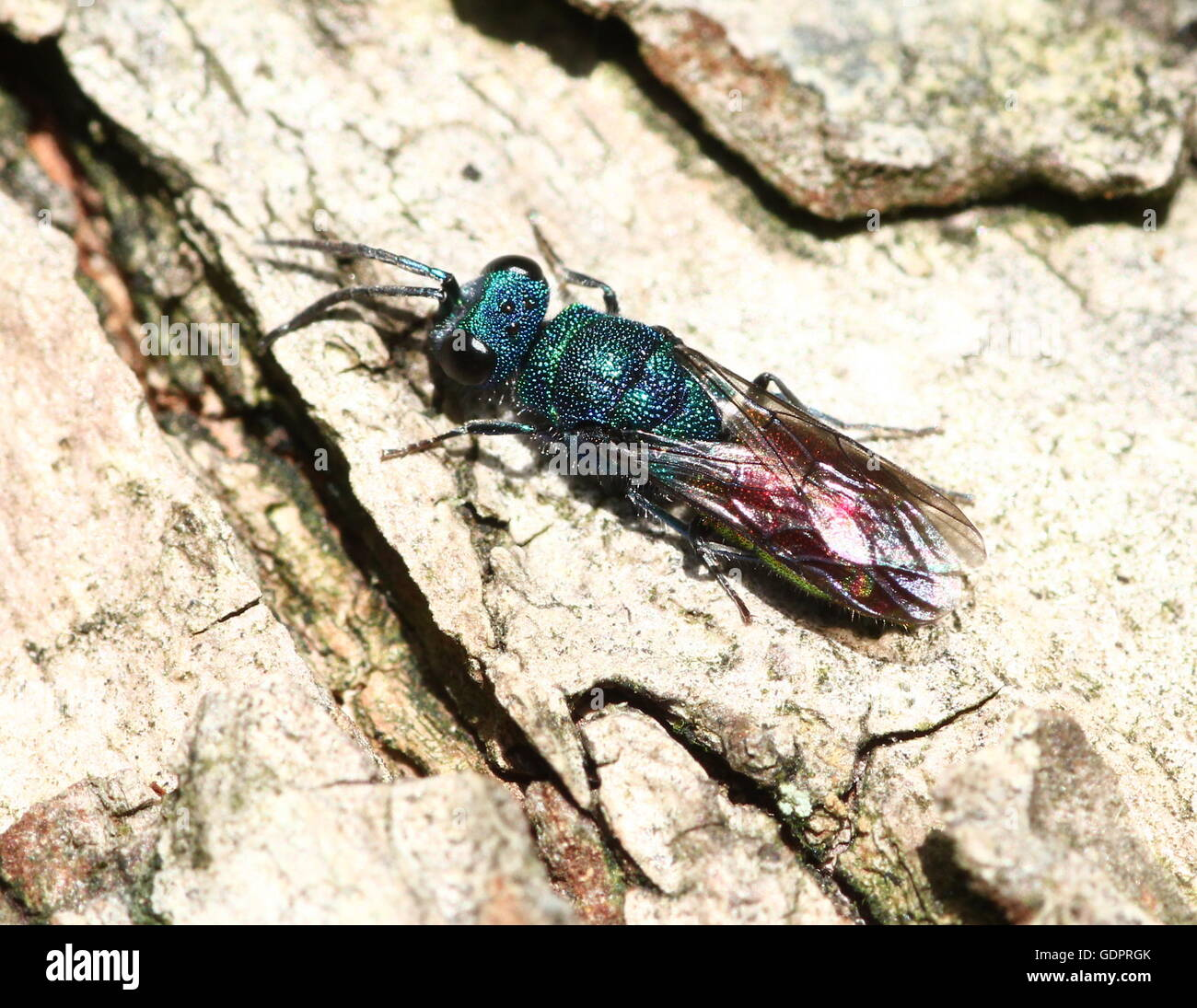 European Ruby tailed wasp (Chrysis ignita), a species of cuckoo wasp. - Stock Image