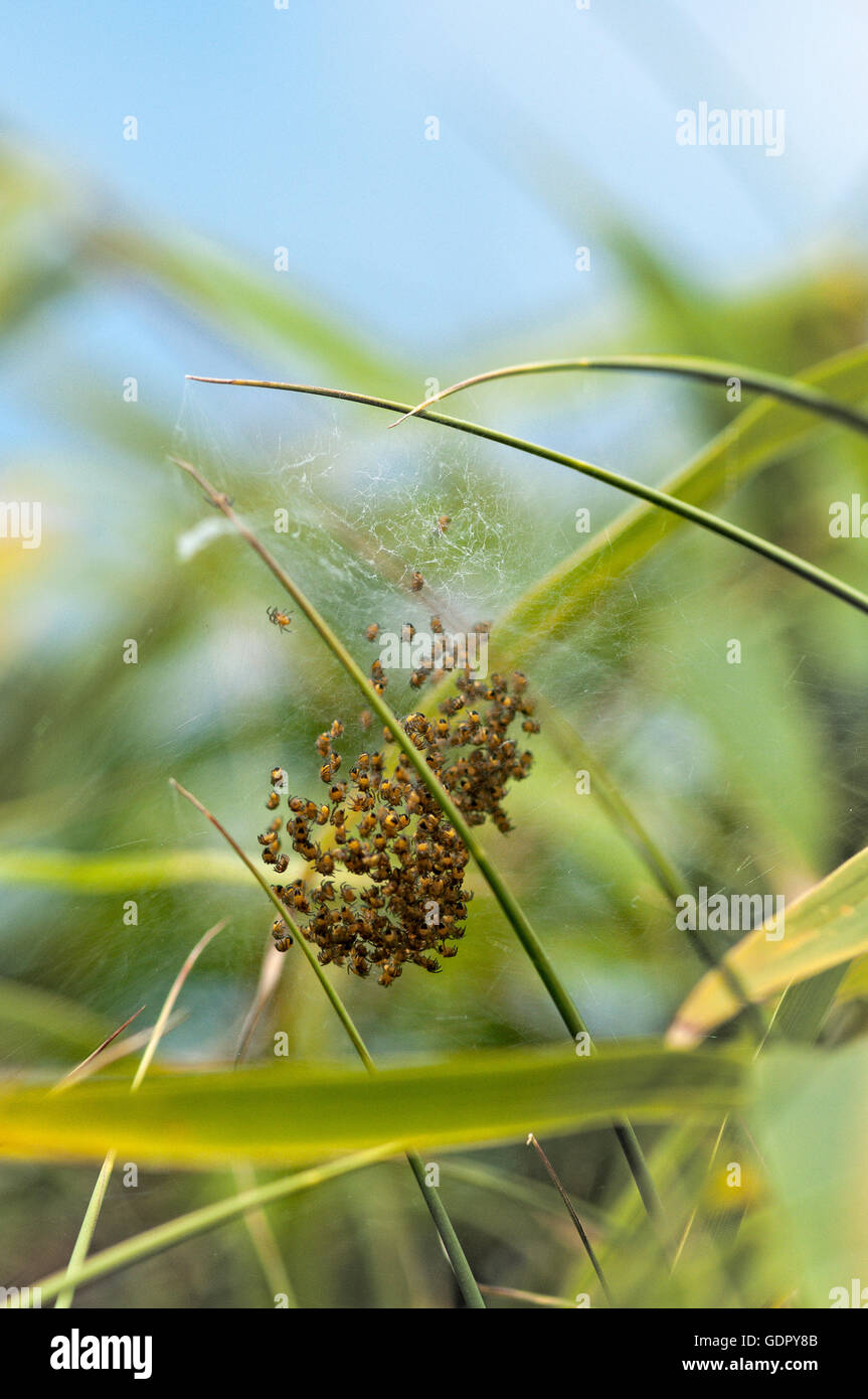 Baby spiders hatching from egg sac on bamboo leaves. - Stock Image